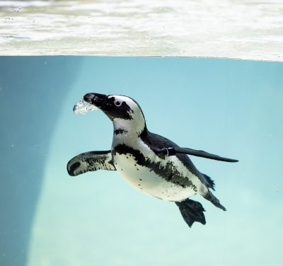 International African Penguin Awareness Day